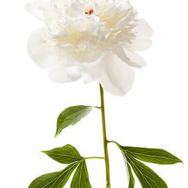 White peony flower on white by Elena Elisseeva