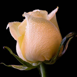 White Rose by Don Johnson