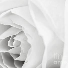 White rose by Elena Elisseeva
