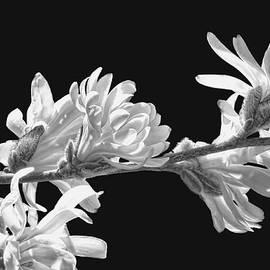 Jennie Marie Schell - White Star Magnolia Flowers Black and White