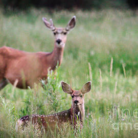 White-tailed Fawn by Robert Bales
