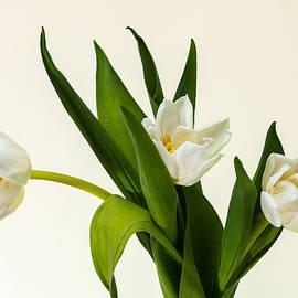 Alexander Senin - White Tulips
