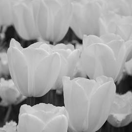 Jennifer Ancker - white tulips b/w