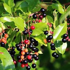 Cynthia Guinn - Wild Berries