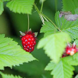 Wild Berries by Shoal Hollingsworth