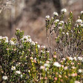 Wildflower by Charles Hite