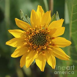 Wildflowers - Carey's Balsamroot Closeup by Carol Groenen
