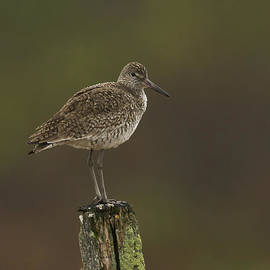 Willet On A Post by John Vose