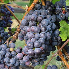 Wine Grapes of New York by Dora Sofia Caputo Photographic Design and Fine Art