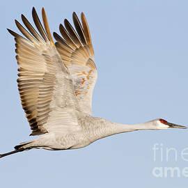 Wings up Sandhill Crane by Bryan Keil