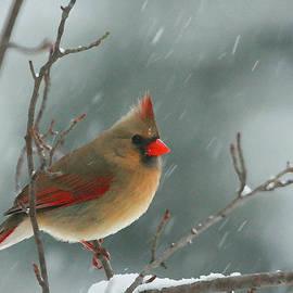 Karol Livote - Winter Cardinal