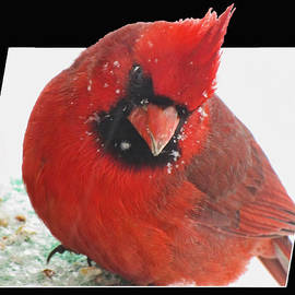 Debbie Portwood - Winter Red Cardinal OOF effect
