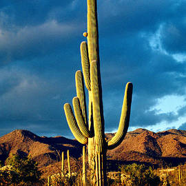 Winter Saguaro by Douglas Taylor