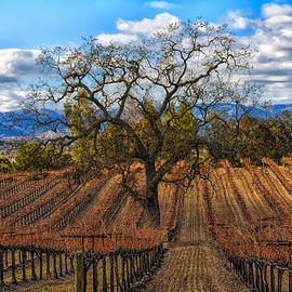 Winter Vineyards Paso Robles by Bill Dodsworth