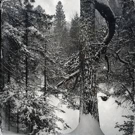 Andrew Amundsen - Winter white pine