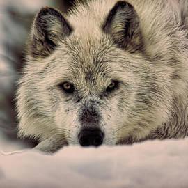 Steve McKinzie - Wolf In Snow