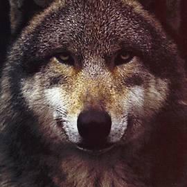 Blackwater Studio - Wolf Portrait