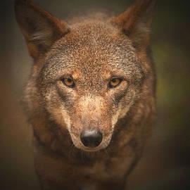 Karol Livote - Wolf Stare