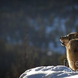 Wildlife Fine Art - Wolves-animals-image 9