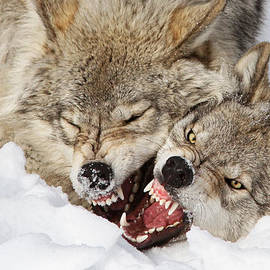 Wolves Rules by Mircea Costina Photography