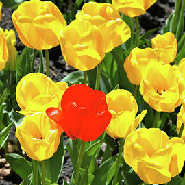 Yellow and One Red Tulip