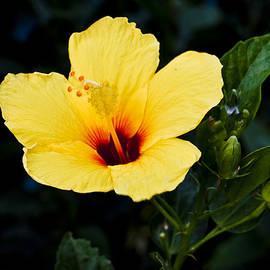 Christi Kraft - Yellow and Red Hibiscus