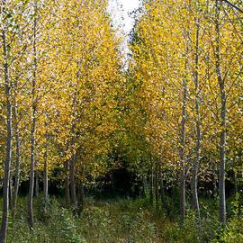 Georgia Fowler - Yellow autumn trees in France