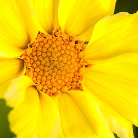 Yellow Cheer by Lindley Johnson