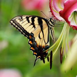 Yellow Eastern Swallowtail Butterfly by Eva Kaufman