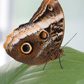 Yellow-edged Giant Owl Butterfly #3 by Judy Whitton
