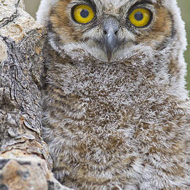 Yellow eyed Owl by Bryan Keil