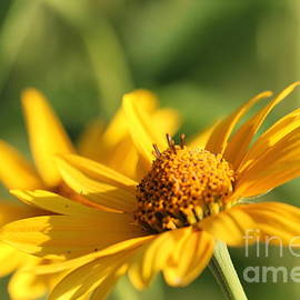 Yellow Flower by Amanda Mohler