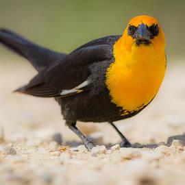 Chris Hurst - Yellow Headed Blackbird