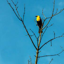Yellow-headed Blackbird by Robert Bales