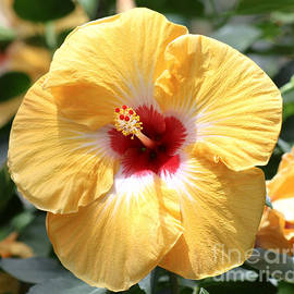 Terry Weaver - Yellow Hibiscus