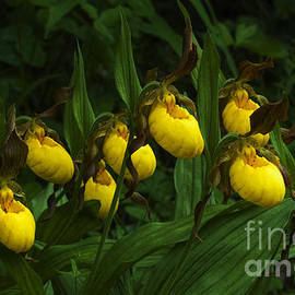 Wildflowers Yellow Lady Slipper Orchids 2 by Bob Christopher