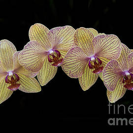 Yellow Phalaenopsis Orchid by Darleen Stry