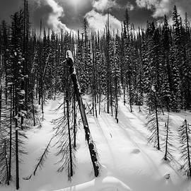 August Wheeler - Yellow Pine