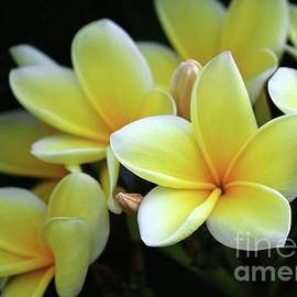 Yellow Plumeria Cascade by Sabrina L Ryan