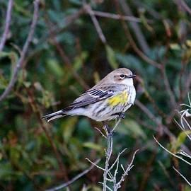 Cynthia Guinn - Yellow Rump Warbler