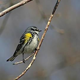 Stephen Thomas - Yellow-rumped Warbler