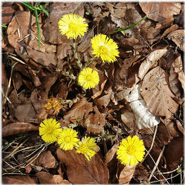 Yellow spring flowers and old brown leaves