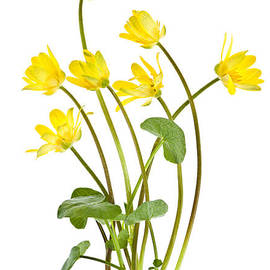 Yellow spring wild flowers marsh marigolds by Elena Elisseeva