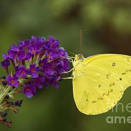 Yellow sulfur on butterfly bush by Bryan Keil