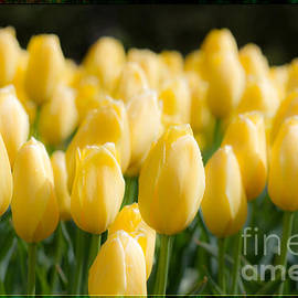 Yellow Tulip Dream by Terry Weaver