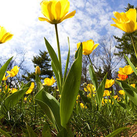 Yellow tulips by Alexey Stiop