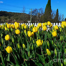 Yellow Tulips before White Picket Fence