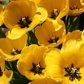 Dora Sofia Caputo Photographic Design and Fine Art - Golden Tulips in Full Bloom