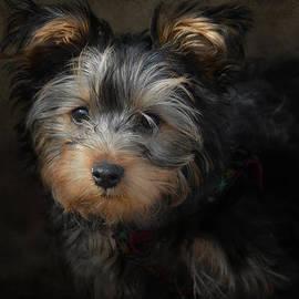 Jai Johnson - Yorkshire Terrier Puppy Portrait