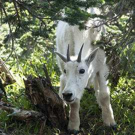 Young Mountain Goat by Cindy Murphy - NightVisions
